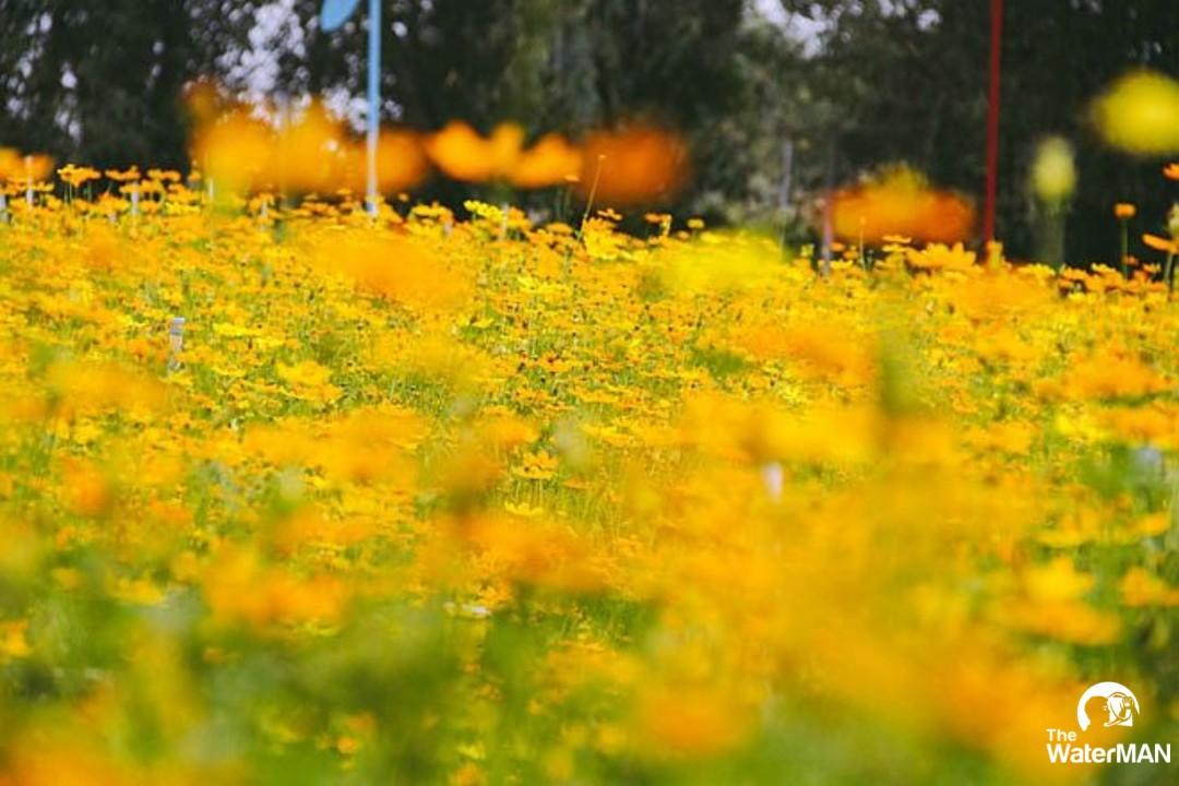 Cánh đồng hoa tại Hóc Môn